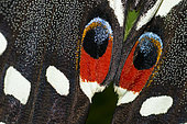 Citrus Swallowtail (Papilio demodocus), eyespots, native of Reunion Island