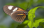 Small Postman Butterfly (Heliconius erato reductimaculata) on a leaf, native to Amazonia