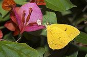 Piérides Soumaké (Phoebis sennae) sur une fleur, originaire d'Amazonie