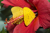 Cloudless Giant Sulphur (Phoebis sennae) in an hibiscus flower, native to Amazonia