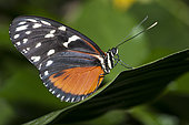 Tiger Longwing (Heliconius hecale) on a leaf, native to Amazonia