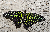 Tailed Jay Butterfly (Graphium agamemnon) on gravel, native to the Philippines