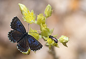Chequered Blue (Scolitantides orion) on flowers, Provence, France