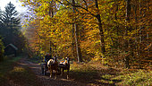 Horse riding in the autumn forest, Vosges du Nord Regional Nature Park, France