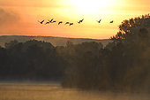 Canada geese (Branta canadensis) flying in the early morning, Sauer Delta Nature Reserve, Rhine bank, Munchhausen, Alsace, France