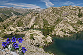 Alpine Bellflower (Campanula alpestris)