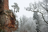 Ruined castle on a rocky outcrop of red sandstone in winter and Scots pine, Vosges du Nord Regional Nature Park, France