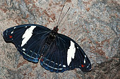 Blue-frosted Banner (Catonephele numilia esite) male on rock, native to Costa Rica