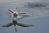 Mute swan (Cygnus olor) on landing, Sauer Delta Nature Reserve, Rhine bank, Munchhausen, Alsace