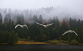 Whooper swans (Cygnus cygnus) in migratory flight, Ballons des Vosges Regional Nature Park, France