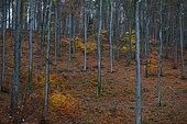 Beech wood (Fagus silvatica) in autumn, Vosges du Nord Regional Nature Park, France