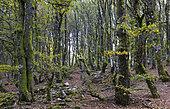 Beech wood (Fagus silvatica) altitude 1100 m, Ballons des Vosges Regional Nature Park, France