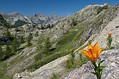 Orange Lily (Lilium bulbiferum) in bloom, Vens lakes, Mercantour National Park, Alps, France