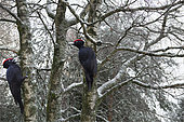 Black woodpeckers (Dryocopus martius) on trunks, Vosges du Nord Regional Nature Park, France
