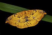 Eupterote moth (Eupterote naessigi), imago, Kinabalu NP, Borneo, Malaisia