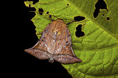 Bell moth (Diehlea ducalis), imago, Kinabalu NP, Borneo, Malaisia