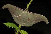Saturniid moth (Antheraea korintjiana), imago, Kinabalu NP, Borneo, Malaisia