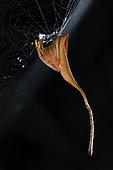 Tailed Spider (Poltys mouhoti) female, Kuala Lumpur, Malaisia