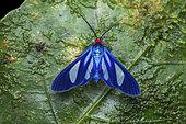 Tiger moth (Euagra cerymica), imago, El Valle de Anton, Panama