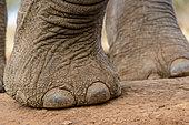 African Bush Elephant (Loxodonta africana). Detail of foot and toe nails. Mashatu Game Reserve. Northern Tuli Game Reserve. Botswana