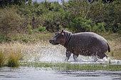 Common hippopotamus or hippo (Hippopotamus amphibius). Lower Zambezi. Zambia