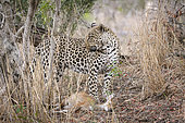 Leopard (panthera pardus) with a Steenbok (Raphicerus campestris) that it has caught. Mpumlanga. South Africa