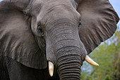 African bush elephant or African savanna elephant (Loxodonta africana). Mpumalanga, South Africa