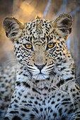 Leopard (Panthera pardus) juvenile (cub) with the most beautiful eyes. Central Kalahari. Botswana.