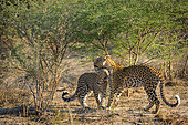 Leopard (Panthera pardus) juvenile (cub) being groomed by its mother. Central Kalahari. Botswana.