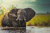 African bush elephant or African Elephant (Loxodonta africana) in the water. Okavango Delta. Botswana