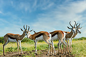 Springbok (Antidorcas marsupialis). Madikwe Game Reserve. North West Province. South Africa
