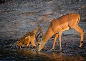 Impala (Aepyceros melampus) and Chacma baboon or Cape baboon (Papio ursinus) drinking in the Chobe River. Chobe National Park. Botswana