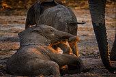 African bush elephant or African elephant (Loxodonta africana) juveniles playing. Chobe National Park. Botswana
