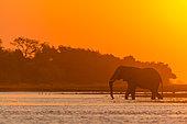 African bush elephant or African elephant (Loxodonta africana) crossing the Chobe River at sunset. Chobe National Park. Botswana
