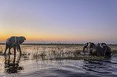 African bush elephant (Loxodonta africana) aka African savanna elephant or African elephant crossing the Chobe River. Botswana