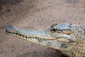 Crocodile africain à museau allongé (Mecistops cataphractus), habitats d'eau douce d'Afrique centrale et occidentale