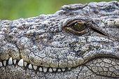 Nile crocodile (Crocodylus niloticus) detail of head showing eye, teeth and ear. KwaZulu Natal. South Africa