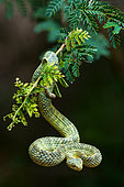 Green bush viper, variable bushviper, leaf viper, common bush viper, bush viper or tree viper (Atheris squamigera). A venomous viper species found in West and Central Africa.