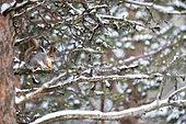 Red squirrel on a branch, Sciurus vulgaris. Kaamanen, Finland