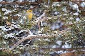Pine grosbeak female on a branch, Pinicola enucleator. Kaamanen, Finland