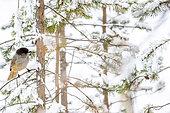 Siberian jay on a branch, Perisoreus infaustus. Kaamanen, Finland