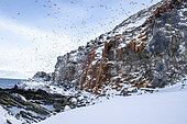 Common murre in flight, Uria aalge. Hornoya, Norway