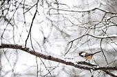 Grey-headed chickadee on a branch, Poecile cinctus. Kaamanen, Finland