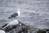 Great black-backed gull, Larus marinus. Hornoya, Norway