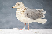 Glaucous gull, Larus hyperboreus. Vardo, Norway