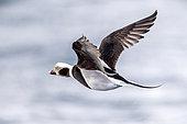 Long-tailed duck male in flight, Clangula hyemalis, Batsfiord, Norway