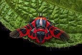 Picture-winged leaf moth (Glanycus coendersi), imago on leaf, Kinabalu NP, Borneo, Malaisia