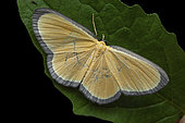 Geometer moth (Bytharia uniformis), imago on leaf, Kinabalu NP, Borneo, Malaisia