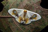 Moth (Macrocilix maia), with false fly spots, Kinabalu NP, Borneo, Malaysia