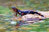 Orange Fire salamander (Salamandra salamandra), Rare colour variation, Solms, Hesse, Germany, Europe